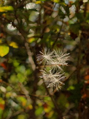 Catching The Wind... (cagey u2) Tags: vw wind thistle blow seeds sow blown