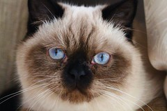 Travis (Sookie's Photography) Tags: cats baby pets cute beautiful animals cat canon persian kitten blueeyes kittens gato persiancats persians cuteanimals cutepets persiankittens maincoons maincooncats catmoments maincoonkittens