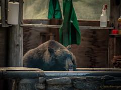 Bear Treats at the Taku Lodge, AK (ExposuresToNature) Tags: bear nature alaska outdoors wildlife ak lodge glacier taku greatnature 2013