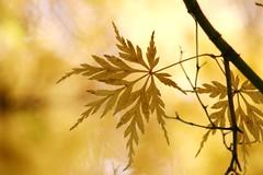 Japanese Maple (haberlea) Tags: autumn plant tree nature yellow japanesemaple acerpalmatum virginiawater acerpalmatumdissectumseiryu
