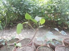 Cutting of Pipal tree. (safwansh) Tags: pakistan birds education aves foundation ficus habitat biodiversity safwan kasur treesplantation