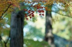 (+akane+) Tags: autumn winter film leaves japan analog season foliage momiji 135 planar contaxs2 1485mm