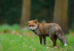 Red Fox (Benjamin Joseph Andrew) Tags: