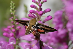 Gallium Sphinx Moth (Diane Marshman) Tags: flowers red summer orange white plant black flower nature sphinx insect wings long purple blossom body pennsylvania stripes moth
