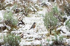 Yellowstone Robin (kevin-palmer) Tags: white snow cold green bird fall robin grass nationalpark snowy wildlife fresh september yellowstone wyoming snowfall shrubs americanrobin roin pentaxk5 pentaxdal55300mmf458