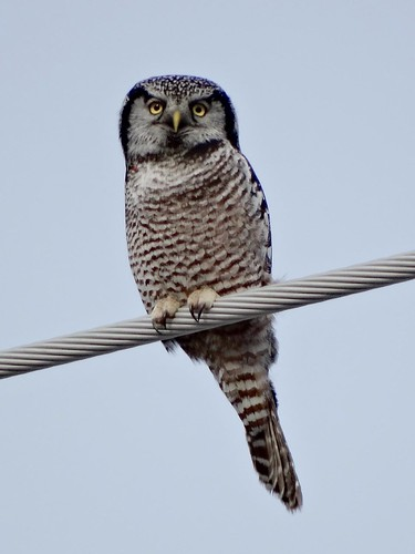 Dec11,2013gg 029 Northern Hawk Owl
