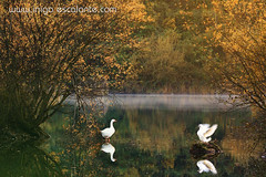 Dos patitos, en el agua, meneando la colita (Iñigo Escalante) Tags: autumn two naturaleza lake reflection verde green blanco nature water animal lago mirror swan agua reflect dos pajaros pato espejo reflejo otoño bizkaia vasco euskadi vizcaya cisne pais nationalgeographic