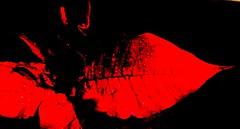 AP (NikWatt) Tags: flowers red rain edinburgh sony poinsettia sigma handheld cokin crossscreen greatcolors greatscots edinburghphotographers christmasplants nikwatt windowsphotogallerylive sonya580