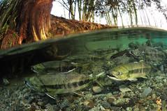 Late for a Date (Fish as art) Tags: salmon conservation angeln saumon lohi unterwasserfotografie salmonrivers underwaterphotographypaulvecsei salmonbiology salmonphotography underwatersalmon