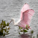 "Roseate Spoonbill<br /><span style=""font-size:0.8em;"">Taken at Merrit Island Wildlife Refuge in Florida</span> • <a style=""font-size:0.8em;"" href=""http://www.flickr.com/photos/18570447@N02/11413341875/"" target=""_blank"">View on Flickr</a>"
