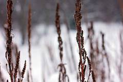 weeds (Pics by Abigail) Tags: winter brown white snow nature canon outside outdoors weeds bokeh gray 50mm14 snowing snowyday winterday