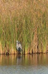 South Padre Island Birding and Nature Center - Egret (runarut) Tags: usa texas nationalparks southpadreisland lagunamadre southpadreislandbirdingandnaturecenter
