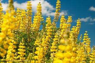 Lupinos amarillos (Lupinus luteus) - Puerto Varas (Patagonia - Chile)