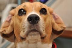 make em laugh  (explore) (DOLCEVITALUX) Tags: dog beagle funny joke humor ears ear pedigree purebreed