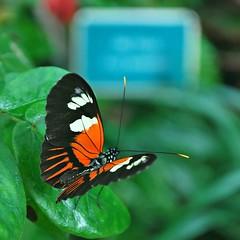 Key West (Florida) Trip, November 2013 0135Rif sq (edgarandron - Busy!) Tags: butterfly keys florida butterflies conservatory keywest floridakeys conservatories keywestbutterflyandnatureconservatory