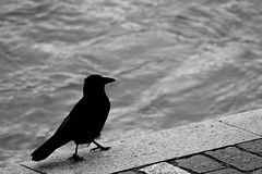 Riverbank (Glaneuse) Tags: city black bird river walking blackwhite riverside pavement crow riverbank raven along