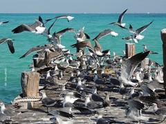Parvada amontonada - Quintana Roo (Polycarpio) Tags: sea bird mexico mar ave cancun caribbean parvada poly gaviota roo gallardo caribe quintanaroo quintana polycarpio jmgallardo juanmanuelgallardo