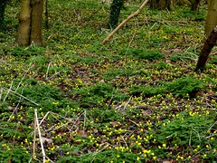 Aconite woodland carpet (ericy202) Tags: flowers woodland norfolk january aconite