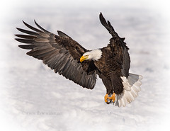 American Bald Eagle Inbound (Fly to Water) Tags: winter snow bird photography adult eagle wildlife flight bald professional mature american