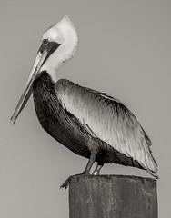 Brown Pelican / Beaufort NC (Marc_714) Tags: bw white black detail bird feathers pelican marc714
