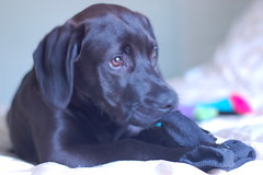 Love Socks Also (Ann Elkins Photography) Tags: black puppy sock lab pulling