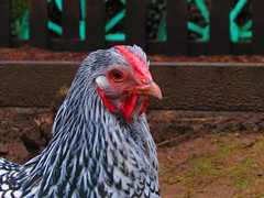 Profile Picture (fabbird1964) Tags: chicken wales poultry gower farmanimal