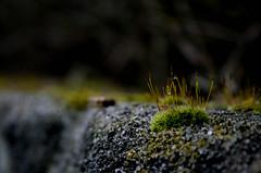 Moos an einem Regentag IV (Nico Nie) Tags: plants plant grass stone wall canon moss drops wasser bokeh stones wand pflanze pflanzen drop steine gras flechte boke stein unscharf moos mauer tropfen erlangen grser flechten klette 400d uttenreuth bok