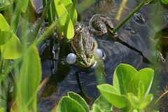 Quack - Croak (ivlys) Tags: park plants nature germany deutschland pond pflanzen frog teich darmstadt rosenhhe marshfrog ranaesculenta teichfrosch seefrosch pelophylaxridibundus ivlys schallblasen