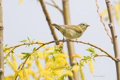 _53F8732 Tennessee Warbler (~ Michaela Sagatova ~) Tags: ontario dundas tennesseewarbler songbird woodwarbler vermivoraperegrina dvca michaelasagatova