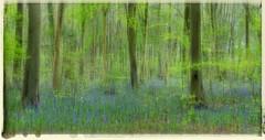 Blue (Photo Gal 2009) Tags: blue bluebell bluebellwood britishwildflowers britishwoodland englishwoodland englishwoods flickrandroidapp:filter=none spring2014 englishwoodland2014