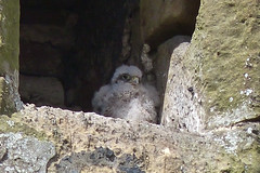 Fledgling Kestrel (Feathers (Joe)) Tags: wild bird sussex wildlife feathers east care salehurst