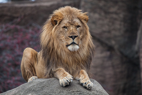 African Lion | Lincoln...