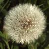 Dandelion 1 (Nick_Fisher) Tags: flower nature blossom seed dandelion fertility fertile fecund fecundity nickfisher
