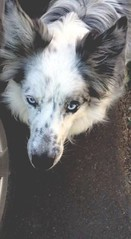 Maggie  #bordercollie #collie #beauty #blueyes #coat #pelt #dog #doggies #dogs #puppy #cutie #adorable (altemosekatie) Tags: dog dogs beauty puppy collie coat adorable cutie bordercollie doggies blueyes pelt