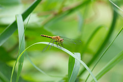 _IGP5970 (mjhuee) Tags: pentax dragonfly km horicon k2000 dal55300mm