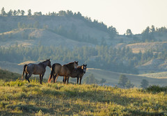 Horse Ranch, near Broadus, Montana (ap0013) Tags: horse horses ranch country countryside montana mont mountain range horseranch broadus