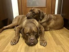 Brothers (Matias_Rojas) Tags: frenchmastif can dogos