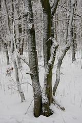 ckuchem-1629 (christine_kuchem) Tags: baumrinde buche bume eiche eis frost hainbuche natur pfad pflanzen ruhe samen spuren stille struktur wald weg wildpflanzen winter einsam kalt schnee ste