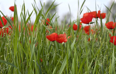Poppies (busitskee) Tags: poppies red flower green grass nature outdoor