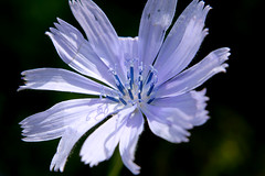 Flower of wild chicory (LaDani74) Tags: cicoria wildflower nature pistil petals chicory