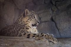 2016-08-17-0164 (BZD1) Tags: animal mammal carnivore animals cats roofdieren sneeuwpanter carnivora synapsida nature natuur natura cat bigcat felidae panthera pantherauncia zookarlsruhe snowleopard leopard