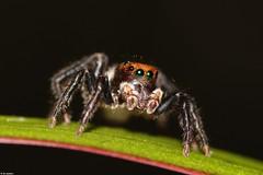 Hypoblemum (Michael__Sanders) Tags: macro spider wallan canon 100mm jumper jumping salticidae