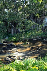 10182016_002 (ALOHA de HAWAII) Tags: liliuokalanibotanicalgarden oahu hawaii banyantree