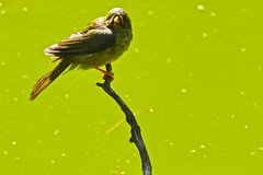 Bell Miner (Rodger1943) Tags: australianbirds bellbird bellminer honeyeaters fz1000 panasonicfzcameras