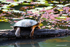 Western pond turtle (JSB PHOTOGRAPHS) Tags: jsb8196 copy western pond turtles westernpondturtle deltaponds 200500mm nikon200500mmafsgf56evr water nikon tc14e