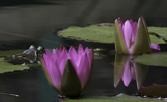 Pink Water Lily with Frog (phot0wright) Tags: aquaticplant flower gibbsgardens pinkwaterlily waterlily frog