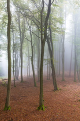 Herbst im Buchenwald  Autumn in the beech forest (Bluesfreak) Tags: buchenwald hasselberg wald nebel