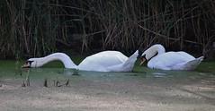 The long neck (Hugo von Schreck) Tags: hugovonschreck outdoor schwan bird vogel swan wasservogel tier canoneos5dsr tamronsp150600mmf563divcusda011