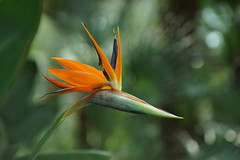 DSC03657 (oliveplum) Tags: gardensbythebay tribaltempofloraldisplay flowerdome olympusomsystemzuikomcautot12f85mm sony singapore flickrtravelaward bokeh birdofparadise
