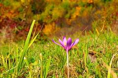 szi tnc / autumn dance (debreczeniemoke) Tags: sz autumn tj land tjkp landscape sznes sznpomps colorful oktber october szikikerics autumncrocus olympusem5